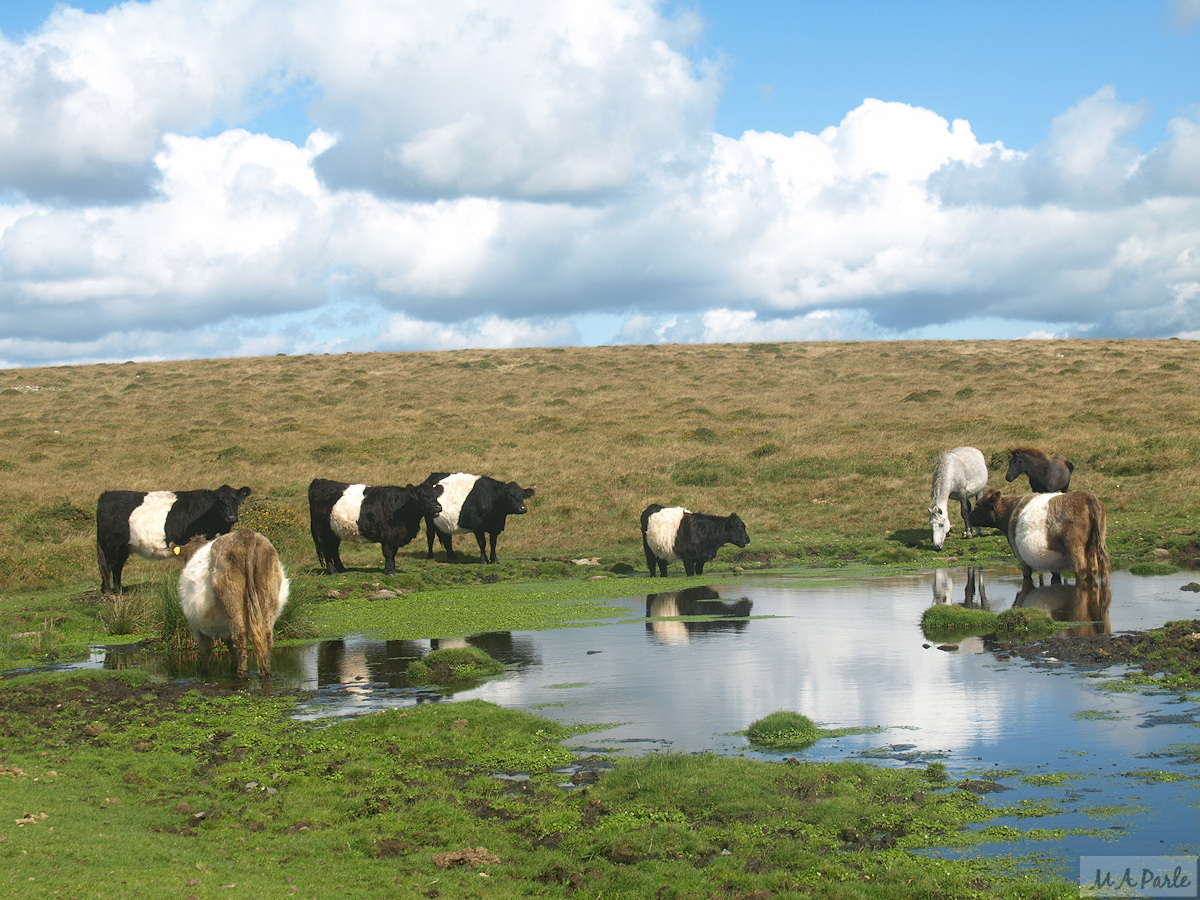 Cattle take a drink close to the tramway