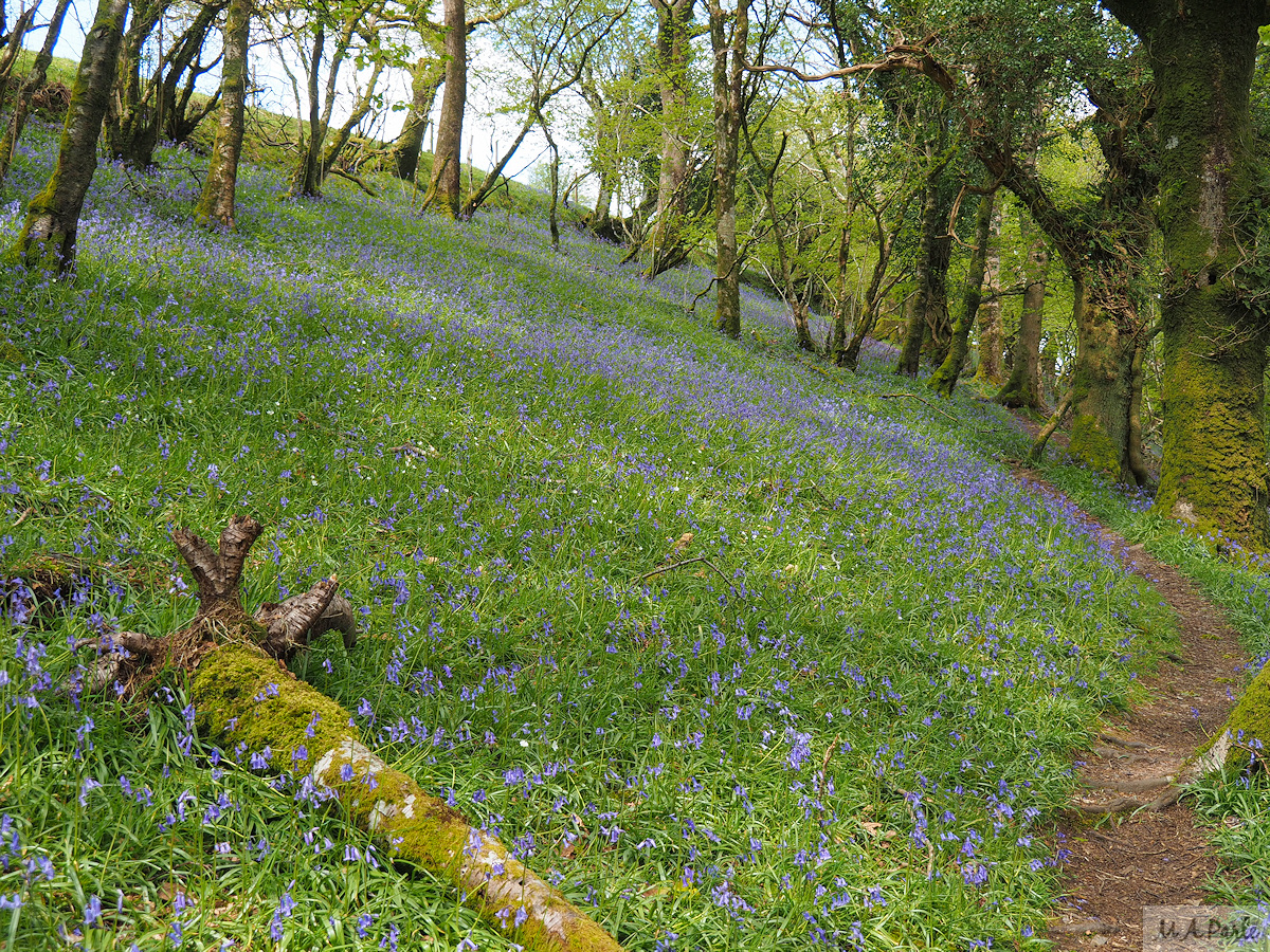 Halstock Wood, carpet of bluebells continues